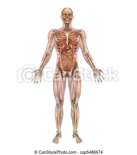 muscoli, organi, scheletro, interno, maschio - csp5486674