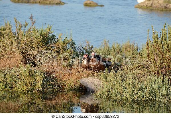 Muscovy duck - csp83659272