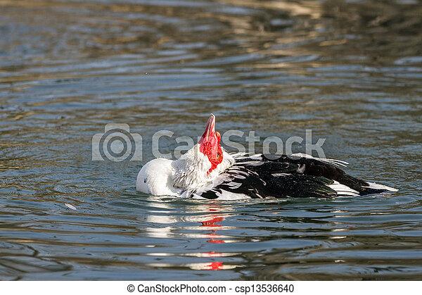 muscovy duck - csp13536640