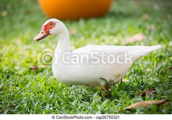 Muscovy duck - csp26755321