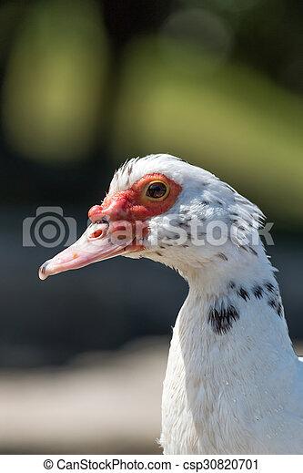 Muscovy duck - csp30820701