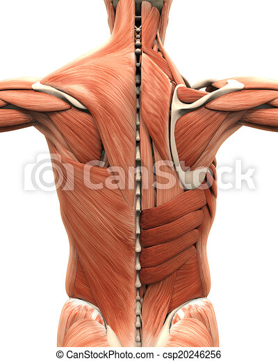 Muscular Anatomy of the Back - csp20246256