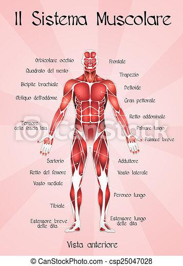 Illustration of muscular system clip art - Search Illustration ...