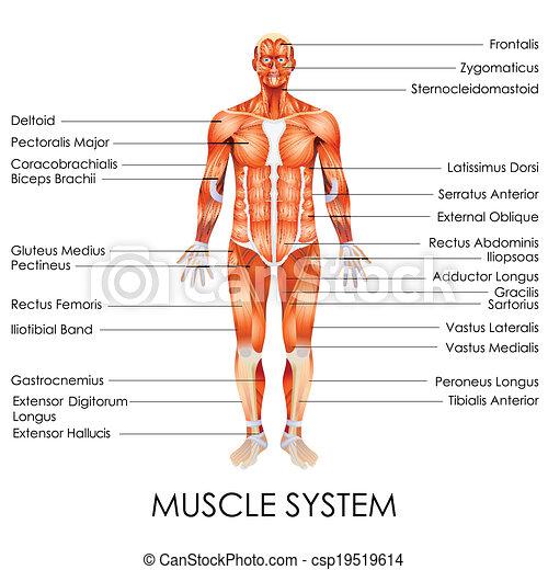 Vector illustration of diagram of muscular system.