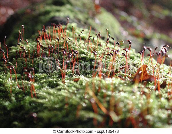 Moss - csp0135478