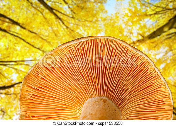 Mushroom a saffron milk cap - csp11533558