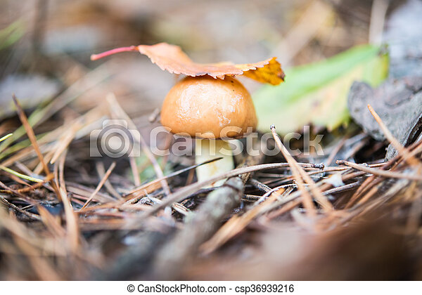 mushroom growing in the forest - csp36939216