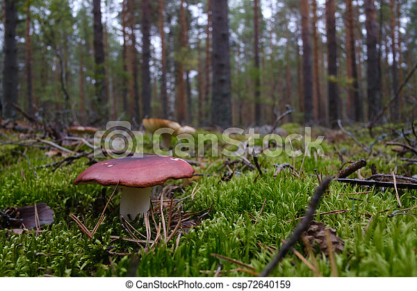 mushroom growing in the forest - csp72640159