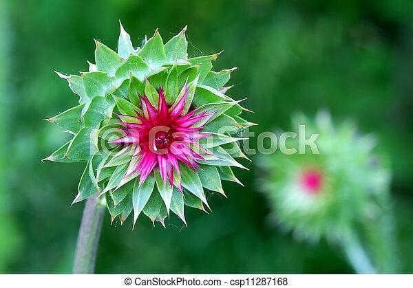 Musk Thistle (Carduus nutans) Wisconsin - csp11287168