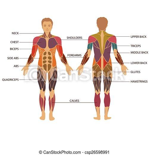 Muskel, koerper. Koerperbau, koerper, muskulös, vektor, menschlicher ...