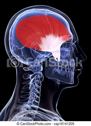 Muskel, temporalis. Geleistet, temporalis, 3d, abbildung, muskel.
