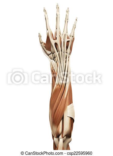 Muskeln, arm. Koerperbau, muskeln, -, bewaffnen muskel.
