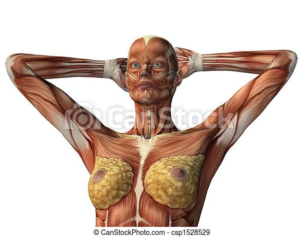 Muskeln, ausstellung, freigestellt, weibliche , weißes, oberkörper.