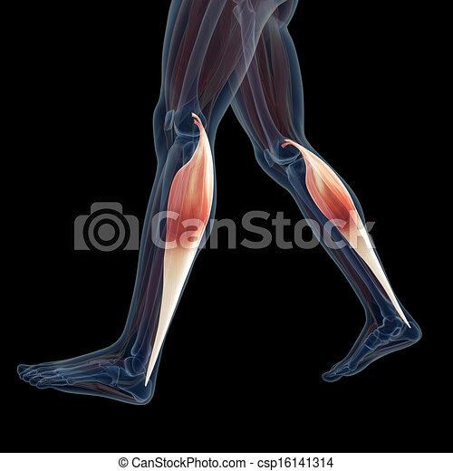 Muskeln, bein. Muskeln, geleistet, 3d, abbildung, bein Clipart ...