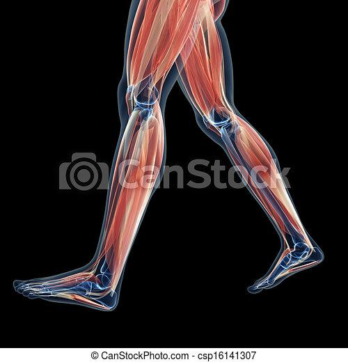 Muskeln, bein. Muskeln, geleistet, 3d, abbildung, bein.