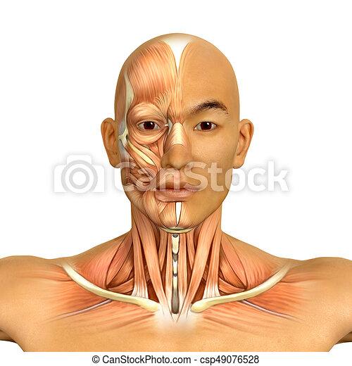 Muskeln, hals, gesicht, koerperbau, asiatisch, modell, mann, 3d.