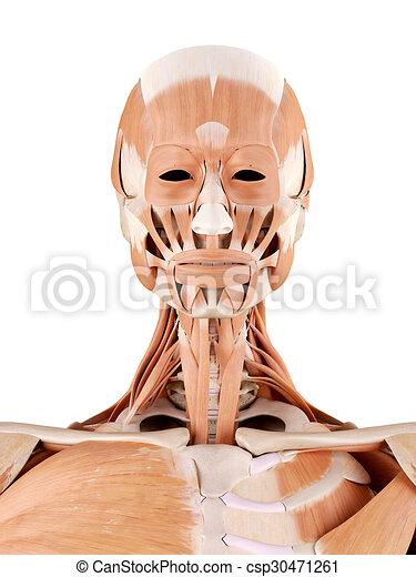 Muskeln, hals, genau, -, abbildung, koerperbau, medically.