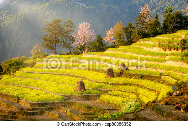 Mustard Fields on a Terraced Hillside in the Evening Light - csp80386352