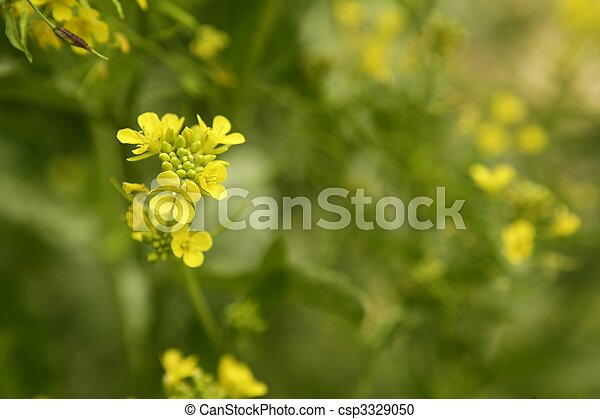 Mustard flower Sinapis Aiba yellow flowers and plant, nature - csp3329050