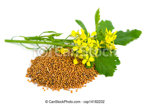 Mustard flowers and seed. - csp14182232