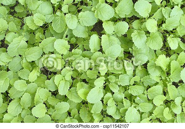 Mustard greens - csp11542107