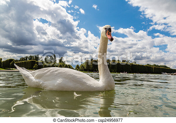 Mute Swan on a lake - csp24956977