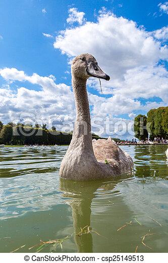 Mute Swan on a lake - csp25149513