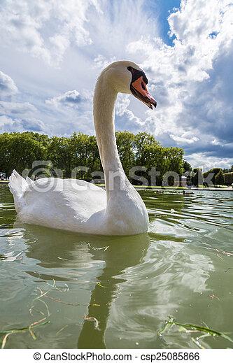Mute Swan on a lake - csp25085866