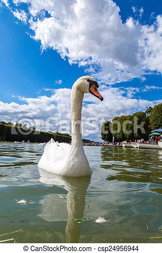 Mute Swan on a lake - csp24956944