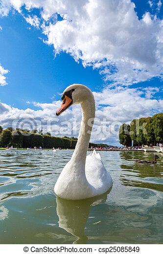 Mute Swan on a lake - csp25085849