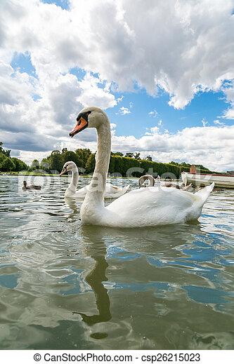 Mute Swan on a lake - csp26215023