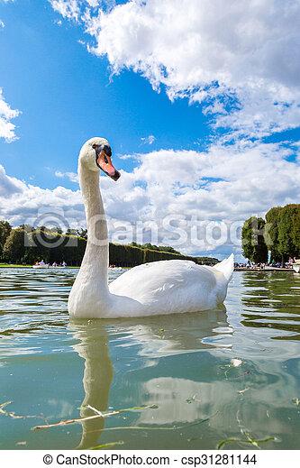 Mute Swan on a lake - csp31281144