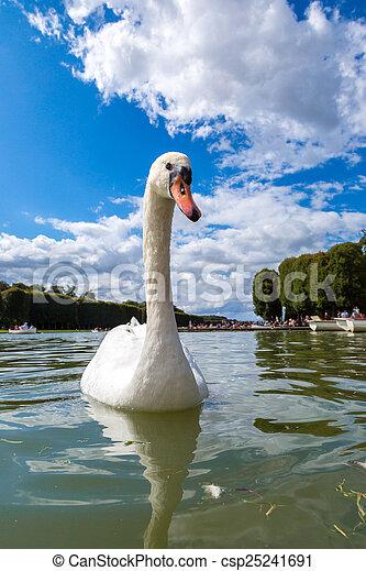 Mute Swan on a lake - csp25241691