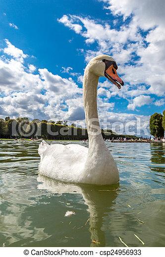 Mute Swan on a lake - csp24956933
