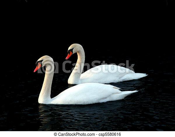 Mute Swans (Cygnus olor) - Illinois - csp5580616