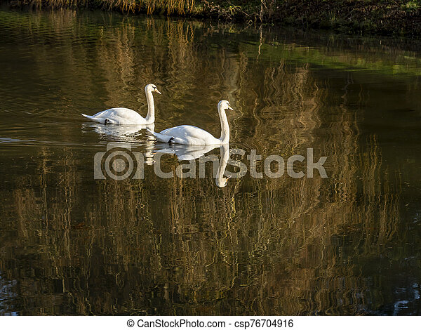 Mute swans, Cygnus olor, on a pond in winter - csp76704916