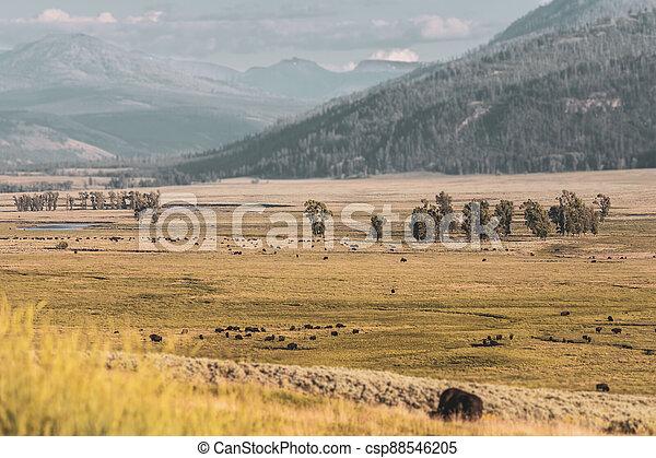 Muted Colors of Bison Herd in Hayden Valley - csp88546205