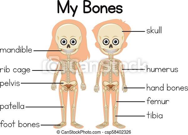 Body Of Humerus Long Bone PNG, Clipart, Body Of Humerus, Bone, Bone Fracture,  Carpal Bones, Cartoon