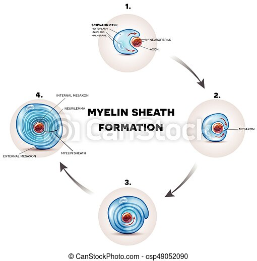 Myelin sheath formation detailed illustration it surrounds the axon myelin sheath formation detailed illustration it surrounds the axon of nerve cell forming fatty substance electrically insulating coating ccuart Image collections