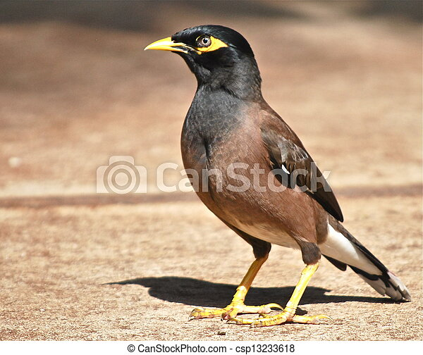 Myna bird in maui stock photography - Search Pictures and ... - photo#41