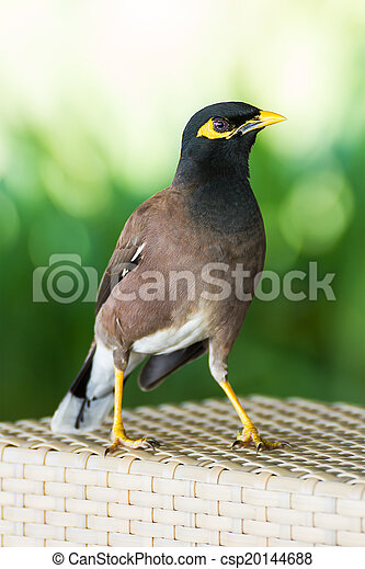 Myna colline oiseau commun vert commun fond myna for Oiseau commun