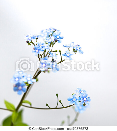 myosotis flower isolated over white - csp70376873