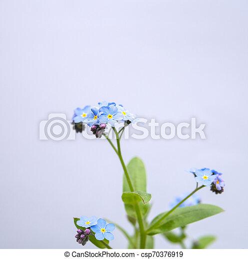 myosotis flower isolated over white - csp70376919