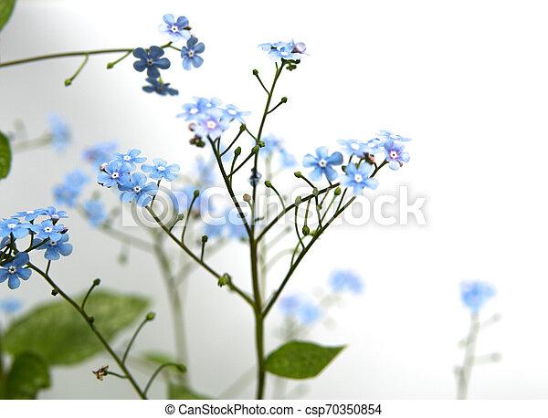 myosotis flower isolated over white - csp70350854