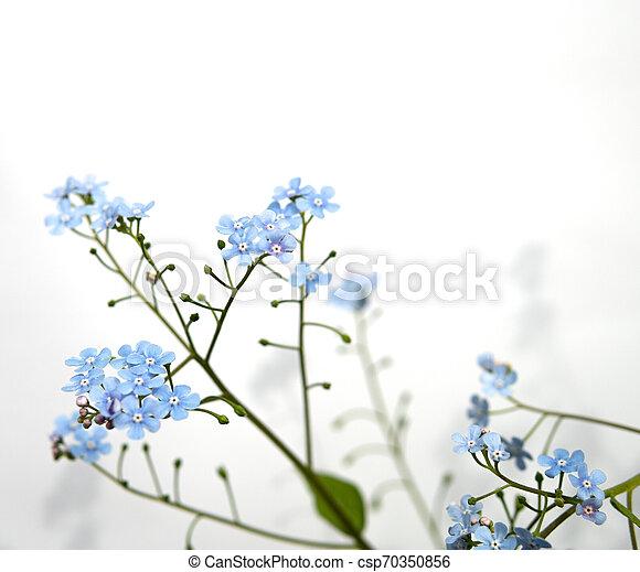 myosotis flower isolated over white - csp70350856