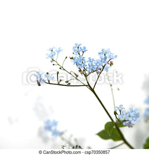 myosotis flower isolated over white - csp70350857