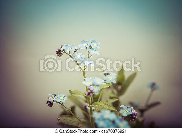 myosotis flower isolated over white - csp70376921