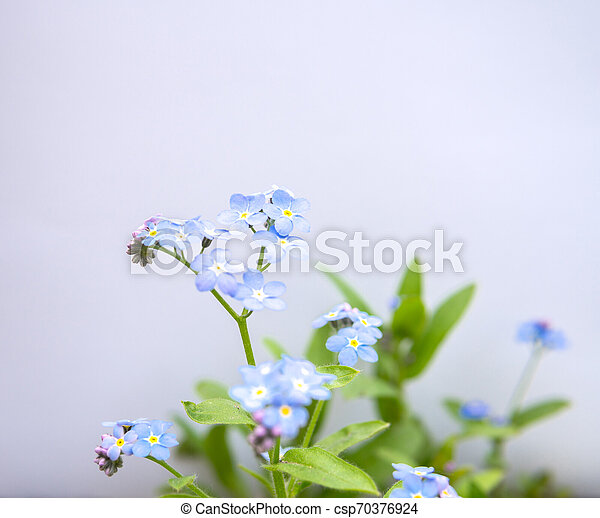 myosotis flower isolated over white - csp70376924