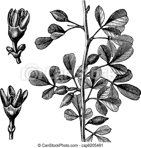 Myrrh vintage engraving - csp6205491