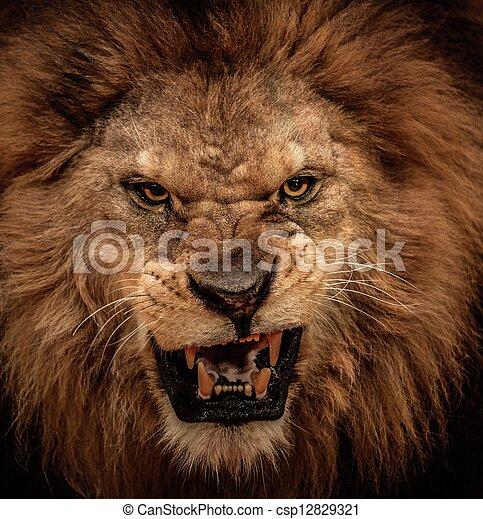närbild, rytande, skott, lejon - csp12829321